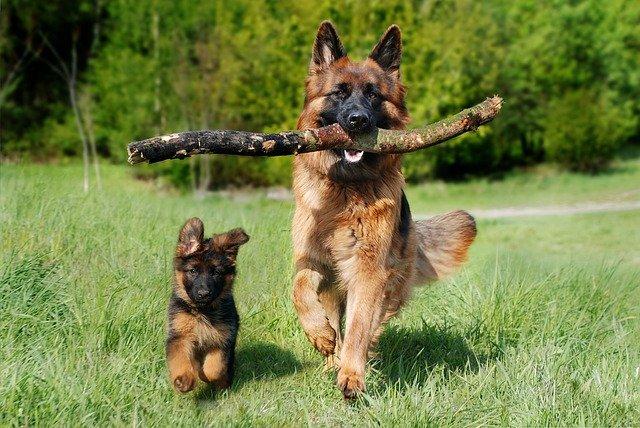 schafer-dog-4357790_640